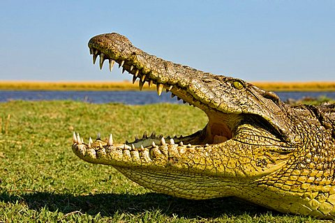 Nile Crocodile (Crocodylus niloticus), mouth wide open, on the bank of the Chobe River, Chobe National Park, Botswana, Africa