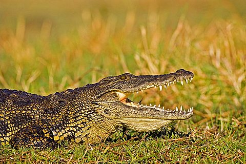 Nile Crocodile (Crocodylus niloticus) on the bank of the Chobe River, Chobe National Park, Botswana, Africa