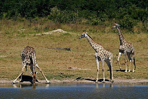 Giraffes (Giraffa camelopardalis) drinking, Hwange National Park, Zimbabwe, Africa