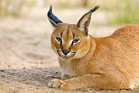 Caracal, African Lynx (Caracal caracal), Namibia, Africa