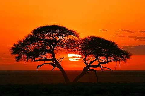 Umbrella Thorn Acacia (Acacia tortilis) at sunrise in Etosha National Park, Namibia, Africa