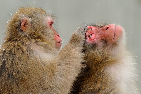 Japanese macaques (Macaca fuscata) in winter