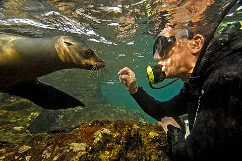 Fur Sealion, playing with diver, Arctocephalus-Galapagonensis, South-Plaza-Island, Ecuador, Pacific Ocean