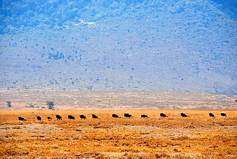 Herd of Blue Wildebeests (Connochaetes taurinus) move one after another in dry grassland Ngorongoro Crater Tanzania