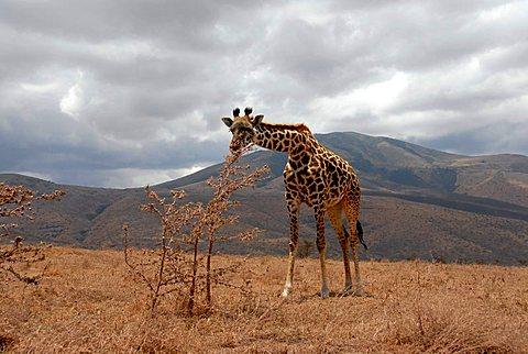 Giraffe (Giraffa camelopardalis) bends down to a shrub Ngorongoro Conservation Area Tanzania