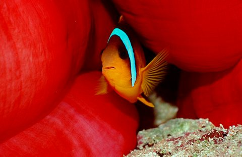 Black-footed Clownfish, Indian Ocean / (Amphiprion nigripes)