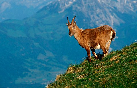 Alpine Ibex, female, Switzerland (Capra ibex) Alps