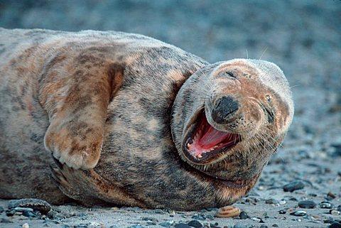 Grey Seal, female, Helgoland, Schleswig-Holstein, Germany (Halichoerus grypus)