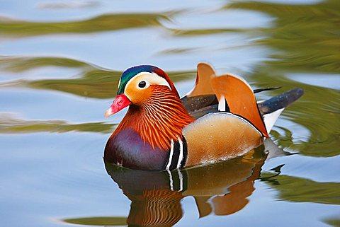 Mandarin duck ( Aix galericulata)