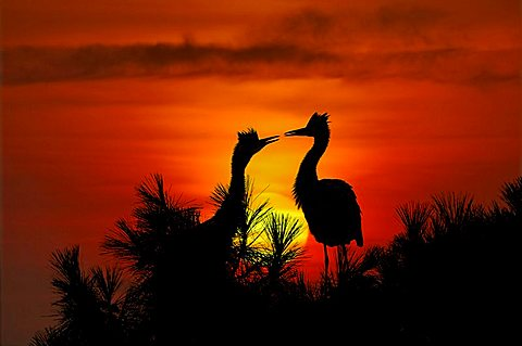 Grey Herons in front of a setting sun, Ardea Cinerea