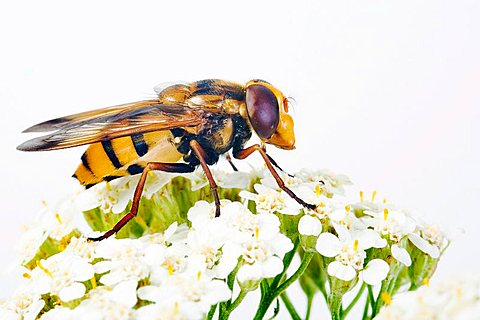 Hoverfly (Volucella inanis)