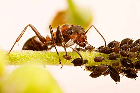 wood ant (Formica rufa) with Black Bean Aphid (Aphis fabae)