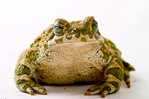 toad (Bufo viridis) - 832-21325