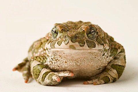 toad (Bufo viridis)