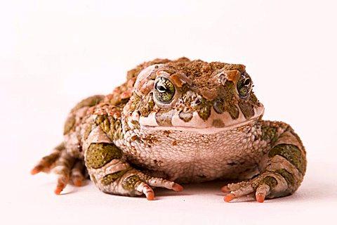 toad (Bufo viridis) - 832-21329