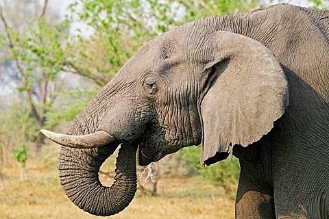 African Elephant (Loxodonta africana) drinks water, Moremi Nationalpark, Moremi Wildlife Reserve, Okavango Delta, Botswana, Africa
