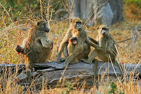 Yellow Baboons (Papio cynocephalus) with babys sitting on a trunk, Moremi Nationalpark, Moremi Wildlife Reserve, Okavango Delta, Botswana, Africa