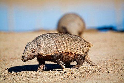 Amadillos (Dasypodidae), peninsula Valdes, Patagonia, east coast, Atlantic Ozean, Argentina, South America - 832-21975