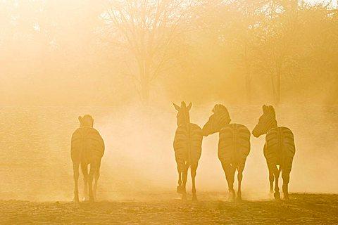 Plains Zebras (Equus quagga burchelli) in the dusty backlight in the dry riverbed, Boteti River, Khumaga, Makgadikgadi Pans National Park, Botswana, Africa