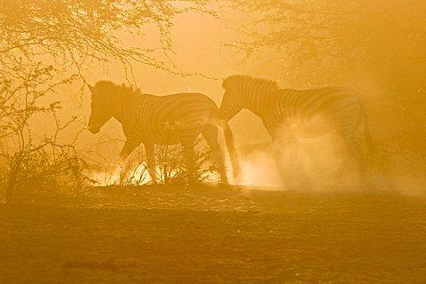 Plains Zebra (Equus quagga burchelli) in the dusty backlight in the dry riverbed, Boteti River, Khumaga, Makgadikgadi Pans National Park, Botswana, Africa