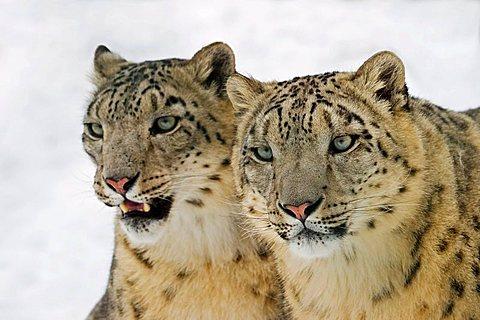 Snow leopards (Uncia uncia) in winter