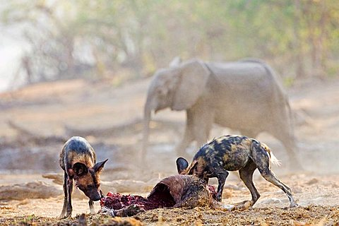 african wilddogs - Lycaon pictus - after a sucessfully hunt, they eat the kudu. A elefant is walking to the river. Africa, Botswana, Linyanti, Chobe National Park, wildlife