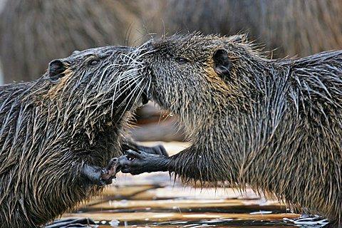 nutria pair in love (Myocastoridae) - 832-22402