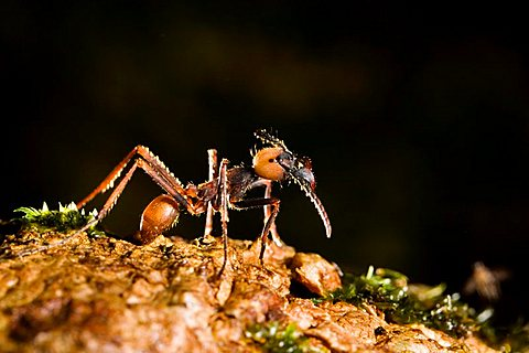 Army Ant, major (Eciton burchellii), rainforest of La Selva, Costa Rica, Central America