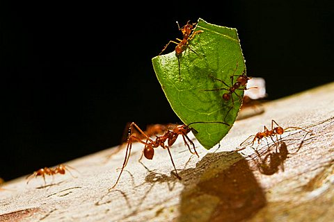 Leafcutter Ant (Atta cephalotes) carrying a piece of a leaf and smaller ants defending against Phorid flies, rainforest, Costa Rica, Central America