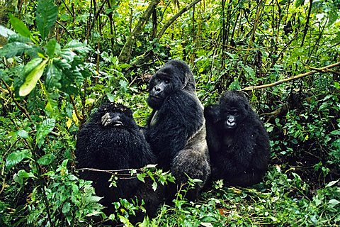 Mountaingorillas (Gorilla beringei), Virunga National Park, Zaire, Africa