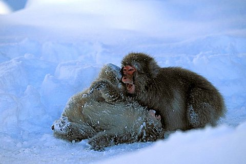 Young Snow Monkeys, Japanese Macaques (Macaca fuscata) playing in snow, snowfall, Japanese Alps, Japan, Asia - 832-28177