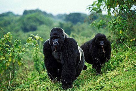 Mountain gorillas (Gorilla beringei), foraging, Virunga Nationalpark, Zaire