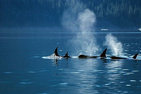 Orcas blowing (Orcinus orca), Inside Passage, Alaska, USA - 832-28274