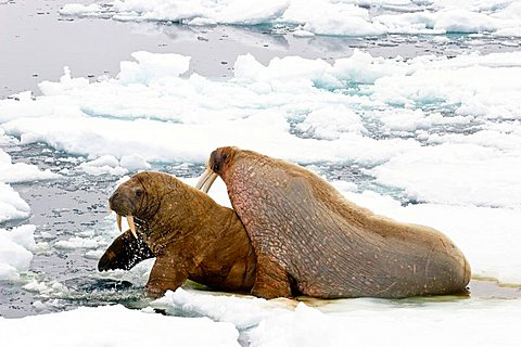Walruses (Odobenus rosmarus), male and female on an ice floe, Spitsbergen, Norway, Europe