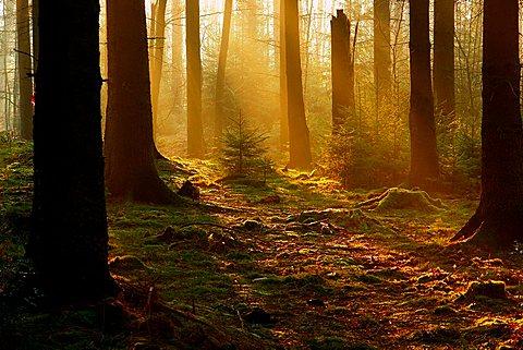 early morning in pine wood, North Rhine-Westphalia, Germany