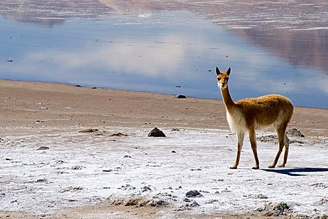 vicunas at the salt lake Salar de Surire, Chile