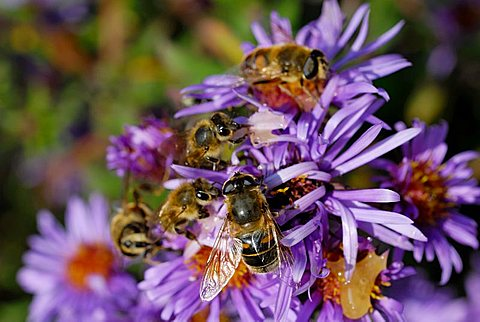Hoverflies, (Episyrphus balteatus) and bees (Api mellifera) on aromatic aster blossom (Aster oblongifolius)