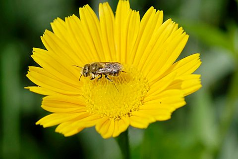 Wild bee on the yellow flower of a Yellow Oxeye Daisy (Buphthalmum salicifolium)