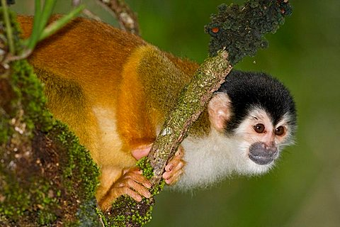 Central American Squirrel Monkey (Saimiri oerstedii), Costa Rica, Central America