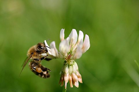 Bee (Apiforme) on a white clover flower