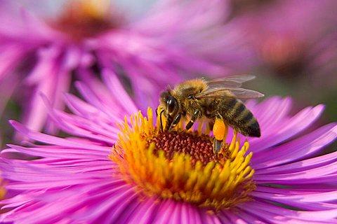 bee (Apis mellifera) on flower