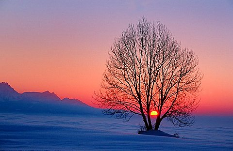 Tree silhouette at sunset over the Zugerberg Mountain, view of central Switzerland, fog, Zug, Switzerland, Europe