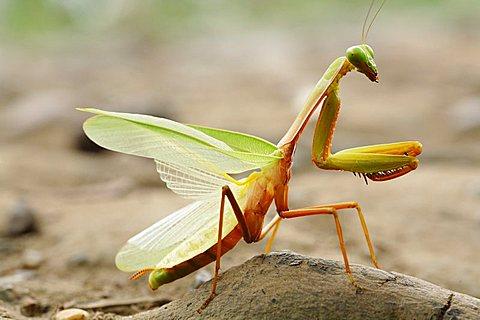 praying mantis (Mantodea), Long Bagun, East-Kalimantan, Borneo, Indonesia
