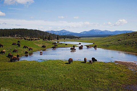 American Bison, Buffalo (Bison bison), herd, Yellowstone National Park, Wyoming, USA