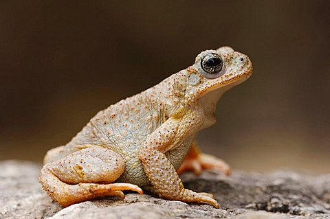 Red-spotted Toad (Bufo punctatus), adult on limestone, Uvalde County, Hill Country, Texas, USA