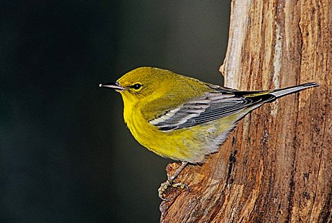 Pine Warbler (Dendroica pinus), male on log with ice, Burlington, North Carolina, USA