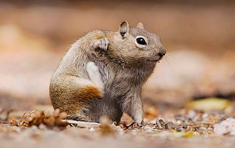 Golden-mantled Ground Squirrel (Spermophilus lateralis), adult scratching, Rocky Mountain National Park, Colorado, USA