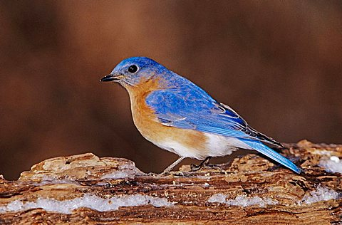 Eastern Bluebird (Sialia sialis), male on log with ice, Burlington, North Carolina, USA