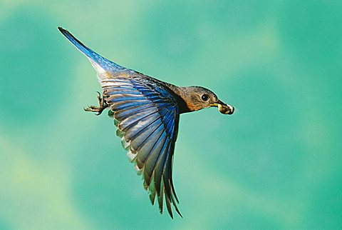 Eastern Bluebird (Sialia sialis), male in flight with fecal sac, Willacy County, Rio Grande Valley, Texas, USA