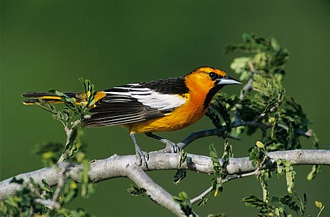 Bullock's Oriole (Icterus bullockii), male, Starr County, Rio Grande Valley, South Texas, USA